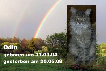 Maine Coon Kater Odin